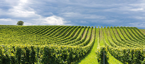 franciacorta vineyards