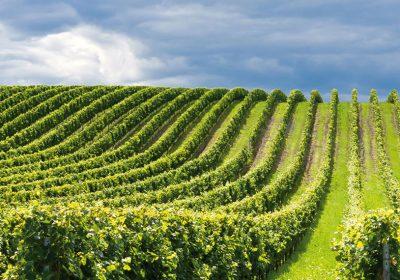 Franciacorta Vineyard